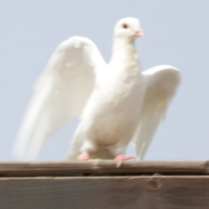 A white dove at the traditional Christian site of the baptism.